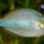 Diamant Regenbogenfisch