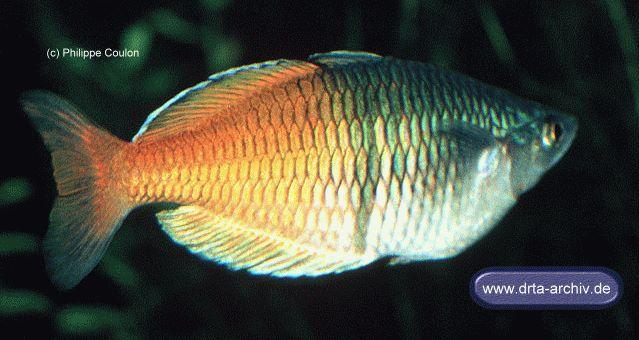 Bösemans / Harlekin Regenbogenfisch