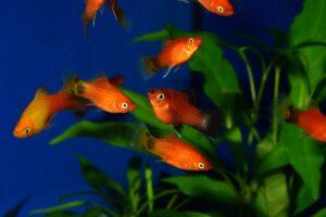 Platys im Aquarium