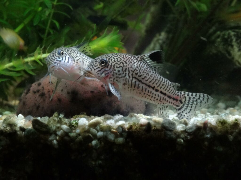 Juli-Panzerwels im Aquarium