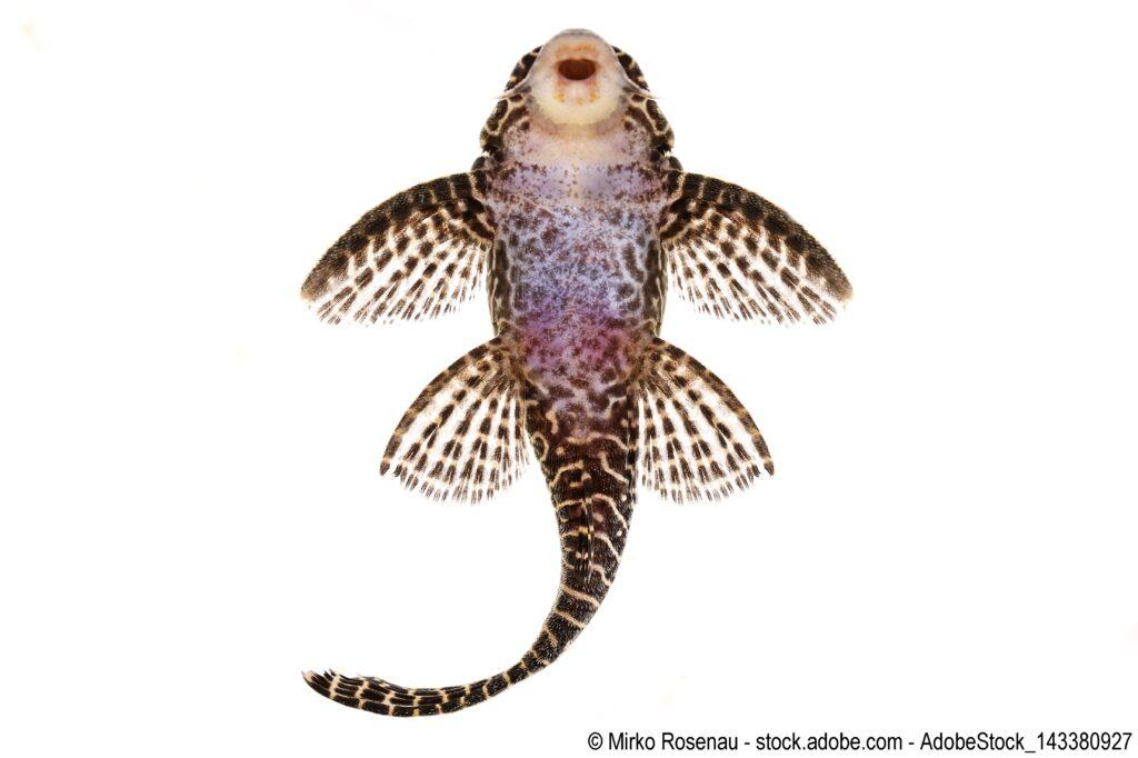 L-260 Queen Arabesque Hypostomus sp Plecostomus aq