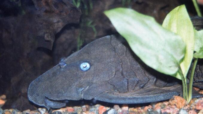 Blauaugen-Harnischwels im Aquarium