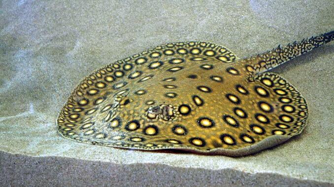 Süßwasserrochen - Pfauenaugen-Stechrochen im Aquarium