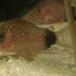 corydorascaudimaculatus011