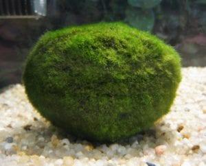 Mooskugel im Aquarium