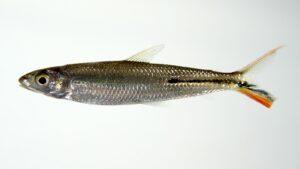 Rotschwanz Federsalmler - Hemiodus gracilis