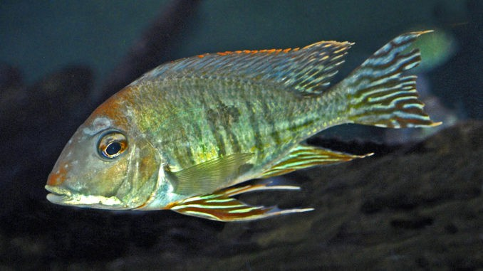 Cichlidae_-_Geophagus_altifrons[1]