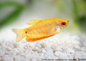 Marmorfadenfisch - gold