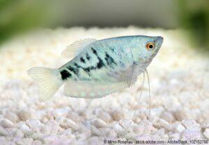 Marmorfadenfisch - blau