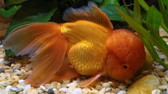 Orange Goldfisch
