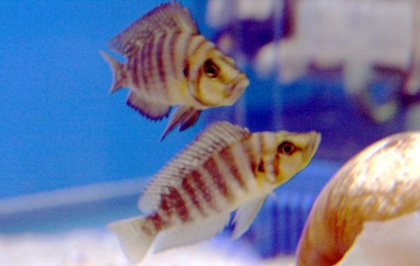 Nanderbuntbarsch im Aquarium