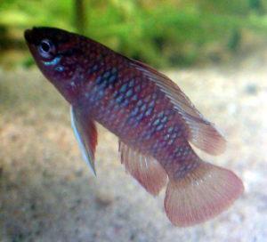 Scharlachroter Zwergblaubarsch im Aquarium