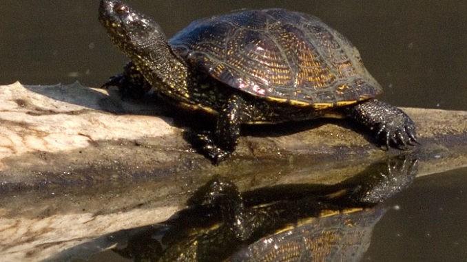 Eruopäische Sumpfschildkröte