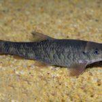 Kangal Knabberfisch