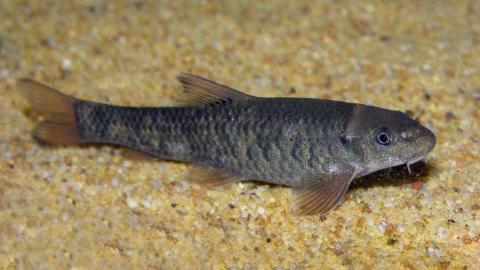 Kangal Knabberfisch im Aquarium