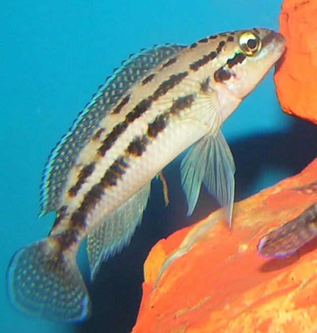 Schlankcichlide Dickfeldi im Aquarium