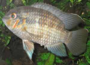 Rotwangen Korbia im Aquarium