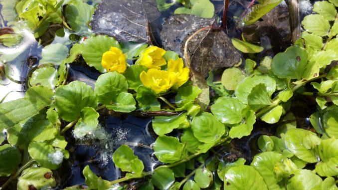 Pfennigkraut in Teich