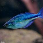 Blauer Regenbogenfisch