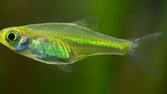 Green Neon Zwergrasbora im Aquarium
