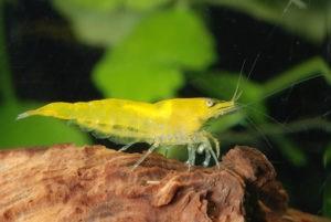 Yellow Fire Garnele im Aquarium