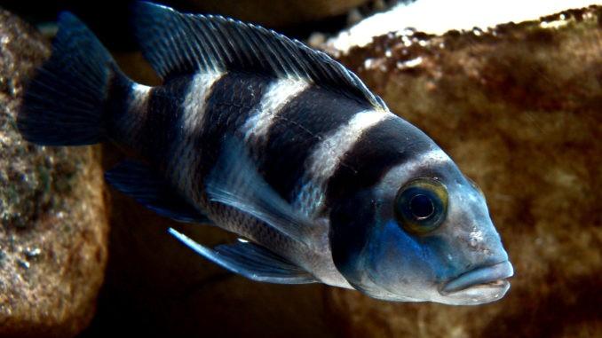 Fünfstreifenbuntbarsch im Aquarium