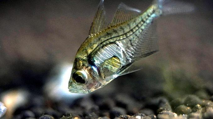Indischer Glasbarsch im Aquarium