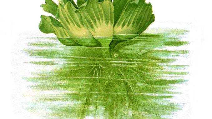 Zeichnung Muschelblume