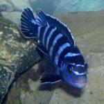 Demasons Maulbrüter im Aquarium