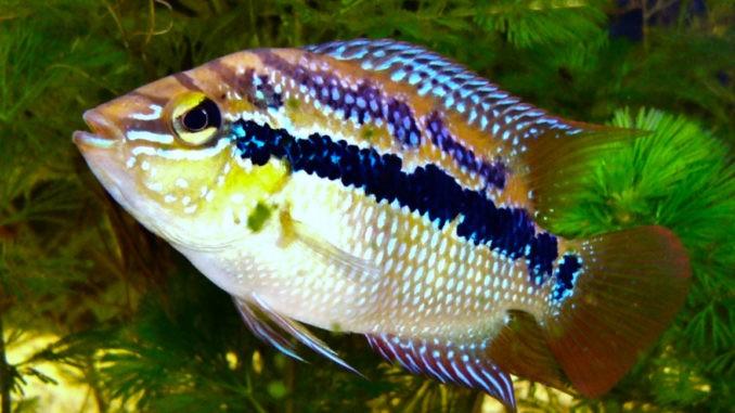 Salvins Buntbarsch im Aquarium