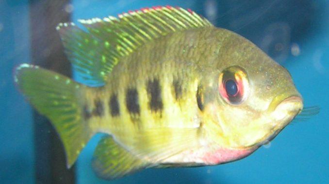 Marienbuntbarsch im Aquarium