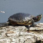Rotwangen-Schmuckschildkröte Sonnenbad