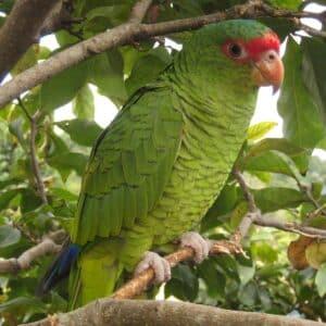 Pracht Amazone in der Natur