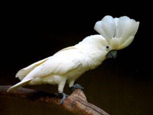 Weißhauben-Kakadu