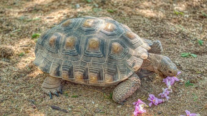 Kalifornische Gopherschildkröte im Freigehege