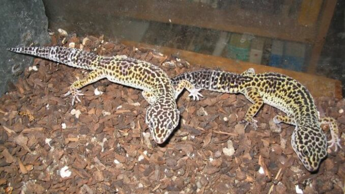 Leopardgekkos im Terrarium