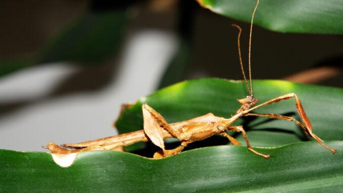Australische Gespenstschrecke im Terrarium