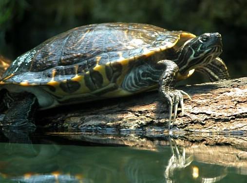 Gelbwangen-Schmuckschildkröte im Terrarium
