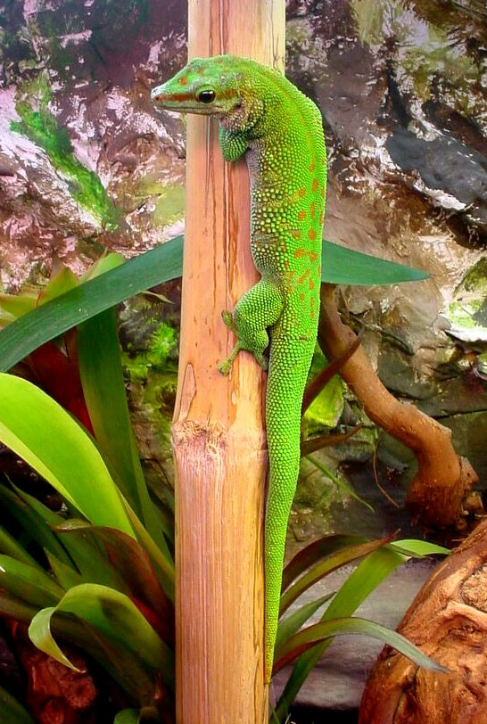 Madagaskar-Taggecko im Terrarium