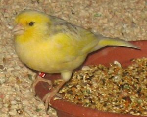 Kanarienvogel im Käfig