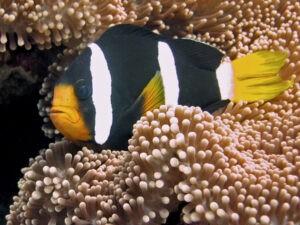 Clark's Anemonenfisch im Aquarium