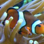 Trauerband-Anemonenfisch im Aquarium