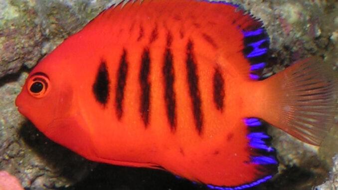 Flammen-Zwergkaiser im Aquarium