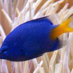 Gelbschwanzdemoiselle im Aquarium