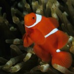 Samtanemonenfisch im Aquarium
