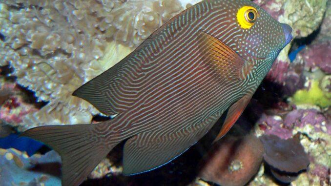 Kohle-Doktorfisch im Aquarium