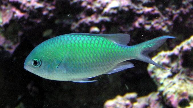 Grünes Schwalbenschwänzchen im Aquarium