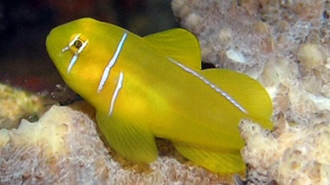 Zitronengrundel im Aquarium