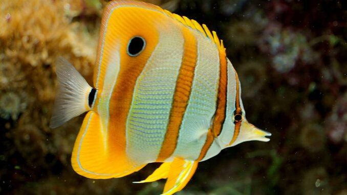 Orangebinden-Pinzettfisch im Aquarium