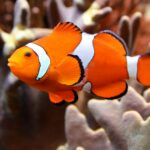 Falscher Clownfisch im Aquarium